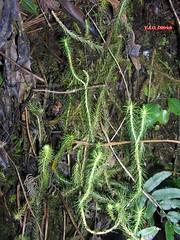 Phlegmariurus nudus (Lycopodiaceae, Lycophyta), Parque Nacional do Itatiaia, Itamonte, MG, Brasil (Vinícius A.O. Dittrich) Tags: phlegmariurus huperzia lycopodiaceae lycophyta vascularplants plantasvasculares plantas plants plantae plantasbrasileiras plantasdebrasil brazilianplants brasil brazil biodiversity biodiversidade biodiversidad pteridophytes pteridófitas leaves folhas hojas caules stems vaodittrich itamonte serradoitatiaia parquenacional nationalpark unidadesdeconservaçãouc conservationunit protectedareas áreasprotegidas nature natureza naturaleza florestaatlântica atlanticforest mataatlântica sudestedobrasil southeasternbrazil minasgerais suldeminasgerais espéciesameaçadas espéciesraras threatenedspecies rarespecies plantasraras rareplants macro