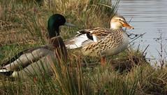 Together (Elisa1880) Tags: eend mallard vogel bird polderpark cronesteyn leiden nederland netherlands