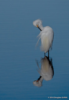 Reflection on Grooming: Snowy Egret (Egretta thula)
