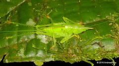 Conehead katydid, Copiphora gracilis (Ecuador Megadiverso) Tags: andreaskay ecuador amazon book conehead conocephalinae copiphoragracilis female idbyfernandomontealegre juvenile katydid nymph orthoptera puyo tettigoniidae