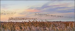 Starling murmurations, Otmoor (FlickrDelusions) Tags: photomerge panorama rspb murmuration otmoor rspbotmoor starlingsflocking oxfordshire
