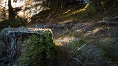 fleeting light (grahamrobb888) Tags: nikon nikond800 nikkor50mmf18 nikkor birnamwood forest frost cold perthshire scotland sunlight