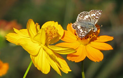 Checkered skipper in yellow & orange (Vicki's Nature) Tags: checkeredskipper small gray butterfly yellow orange cosmos wildflowers november etowahriverpark canton georgia vickisnature canon s5 2182