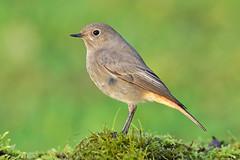 Codirosso  (Phoenicurus phoenicurus) femmina (Mascamit) Tags: codirosso phoenicurus bassanoromano viterbo lazio natura uccello uccelli