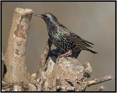 Starling (CliveDodd) Tags: starling sturnus vulgaris