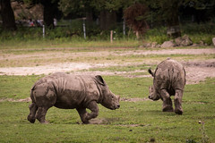 playing young rhinos (Cloudtail the Snow Leopard) Tags: nashorn zoo augsburg tier animal mammal sugetier breitmaul weises ceratotherium simum white rhino rhinoceros jung young