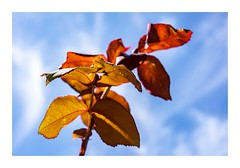 Red Leaves (red stilletto) Tags: oceangrove bellarinepeninsula rose leaf leaves redleaves sky bluesky macro mrlincolnrose