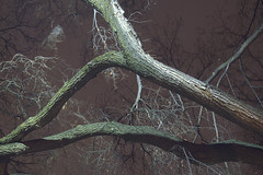 elm with lichen (Justin van Damme) Tags: tree branch branches green night dark long exposure windblown elm
