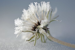 Icy dandelion1046 (lynne186) Tags: dandelion ice macro nature winter