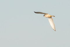 Trnfalk (Ib Misfeldt) Tags: falke fugle rovfugle trnfalk