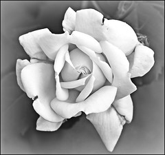 Our Daily Challenge: Style (Sue90ca Paying You A Visit When Things Slow Down) Tags: bw rose canon web style 28 60mm 60d ourdailychallenge