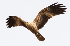 Wary (Geoff Main) Tags: kite bird australia act birdofprey birdinflight whistlingkite jerrabomberrawetlands canonef100400f4556lisusm canon7d
