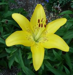 Wheaton, IL, Yellow Lily Macro (Mary Warren (6.3+ Million Views)) Tags: flower macro yellow lily blossom bloom coth bej abigfave wheatonil