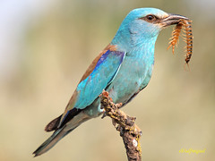 Carraca europea (Coracias garrulus) (eb3alfmiguel) Tags: aves europea curruca insectívoros