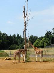 Browsing camelopards (pefkosmad) Tags: africa mammal tall giraffe ungulate tallest cotswoldwildlifepark ruminant giraffacamelopardalis camelopard
