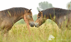 Touch (Vicktrr) Tags: horses horse nose bay ears pony ponies nuzzle wildponies muzzle exmoor dapples exmoorpony cossington horsemuzzle cossingtonmeadows ponynose