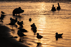 Birds Silhouettes (MrBlackSun) Tags: bird port oz seagull australia waterbird pelican nsw newsouthwales aussie macquarie portmacquarie