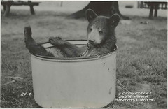 SW Hastings MI RPPC 1950s Cutest Little Black Bear Cub at Greenfields Deer Park a popular SW Michigan Family Roadside Amusement and Animal Park Zoo (UpNorth Memories - Donald (Don) Harrison) Tags: travel usa heritage history tourism vintage antique michigan postcard memories restaurants hotels trailer roadside upnorth cafes attractions motels cottages cabins campgrounds upnorthmemories rppc wonders michigan memories parks entertainment natural harrison roadside travel don tourist stops upnorth