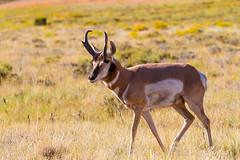 My Turf (James Marvin Phelps) Tags: southwest photography utah nationalpark wildlife buck brycecanyon pronghorn brycecanyonnationalpark pronghorna