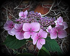 Hydrangea Flower .. (** Janets Photos **) Tags: uk flowers flora yorkshire hydrangea welikeit masterphotos artisticflowers takenwithlove mindigtopponalwaysontop lovelyflickr blinkagain thegoldenachievement goldenachievement dreamlikephotos takenwithhardwork lovelynewflickr