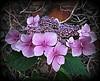 Hydrangea Flower .. (** Janets Photos **) Tags: uk flowers flora yorkshire hydrangea welikeit masterphotos artisticflowers takenwithlove mindigtopponalwaysontop lovelyflickr blinkagain thegoldenachievement goldenachievement dreamlikephotos takenwithhardwork lovelynewflickr