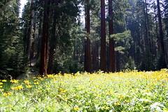 Sequoia National Park (K e v i n) Tags: california ca trees vacation nature outdoors wildflowers sierranevada sequoianationalpark sequoias canoneosdigitalrebelxti