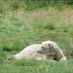 Polar bear, 6 August 2013 thumbnail