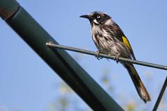 New Holland Honeyeater 2013-10-19 (_MG_2432) (ajhaysom) Tags: australia melbourne australianbirds newhollandhoneyeater phylidonyrisnovaehollandiae greenvale