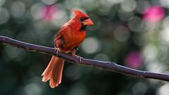 Cardinal Ready for Action_DSC6153 (DansPhotoArt) Tags: life bird nature fauna garden backyard nikon cardinal earth wildlife aves freshness passaros redbird d7100