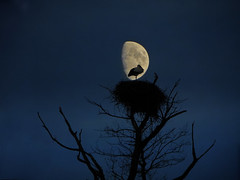 IMG_2860+2850 Love you to the moon (pinktigger) Tags: italy moon bird nature night italia clear moonlight omg soe stork cegonha cigea friuli storch cigogne ooievaar fagagna cicogna oasideiquadris feagne bestcapturesaoi elitegalleryaoi inspiringcreativeminds
