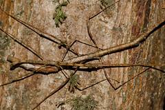 Unidentified Mulu NP, adult couple (MichaSauer) Tags: insect sarawak borneo stick bako phasmid kasai mulu lambir nanga sumpa lubok