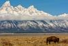 Passing Through (craig goettsch) Tags: mountains nature nationalpark nikon bravo wildlife ngc npc wyoming grandtetons bison grandtetonnationalpark gtnp simplysuperb nikkor8004000mmf4556vrii
