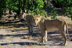 Lions. Safari. Khawi River Lodge. Botswana. Nov/2013. Lees. Safari. Botsuana. Nov/2013 (EBoechat) Tags: safari lions botswana lioness leo leoa lees botsuana nov2013 khawiriverlodge
