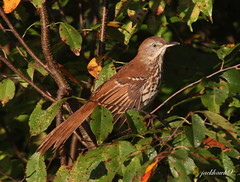 """Brown Thrasher"" ""Toxostoma rufum"" (jackhawk9) Tags: nature birds newjersey wildlife ngc southjersey brownthrasher toxostomarufum trashers jackhawk9canon"