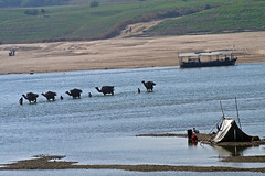A line of camels crossing the Chambal River in the state of Madhya Pradesh. (E Paul Rogers) Tags: india crossing tent sandbanks wading shallows