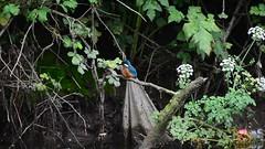 Kingfisher @ Broadmeadows (Brian Carruthers-Dublin-Eire) Tags: bird kingfisher swords broadmeadowestuary