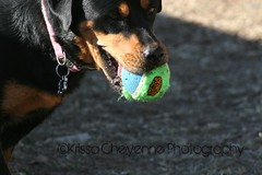 Got The Ball (mcrgrl9) Tags: dog baby beautiful ball photography pretty rott sissy krissa cheyenne rotweiller
