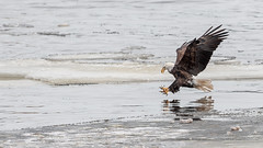 Bald Eagle (Haliaeetus leucocephalus) (ER Post) Tags: unitedstates lock dam 14 iowa bettendorf