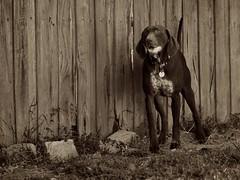 P1062049 (Dean Voss) Tags: dog olympus gsp indi omd germanshorthairedpointer em1 olympusm75mmf18