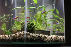 Neon Tetra tank over the kitchen counter (NHN_2009) Tags: neontetra