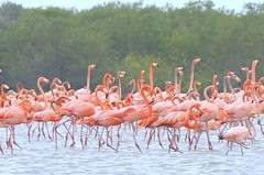 Flamencos! (jos_bon7) Tags: life new pink wild color water birds animals amazing cool colombia wildlife nuevo guajira