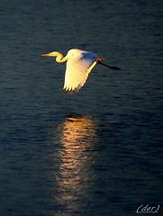 ....a volo radente!! (erman_53fotoclik) Tags: canon eos ali volo bianco luce uccello riflesso calda destro scatto ermanno volare 500d airone cattura ripresa erman53fotoclik
