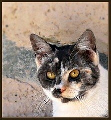 Cat's Whiskers !  Resident cat at Hatta (Indianature22) Tags: nature cat uae hatta hajar catswhiskers desertmountains hajarmountains hattafort indianature aridmountains
