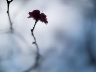 三冬の花, la fleur du 3ème hiver - 05