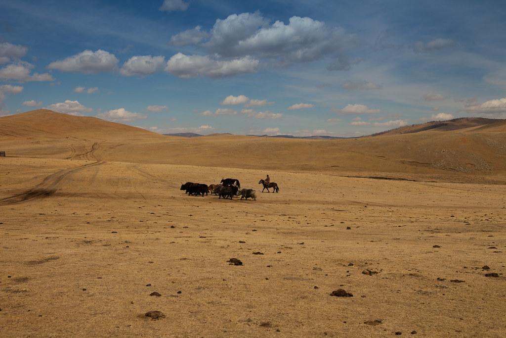 troupeau yaks printemps