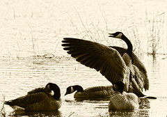 I feel good (Team Hymas) Tags: bw geese washington wildlife tint refuge ridgefield teamhymas