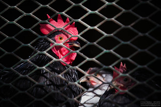 Prison Aviaire