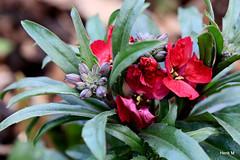 Erysimum (Henk M gardenphotoblog) Tags: flowers garden spring tuin bloemen voorjaar nimg8877