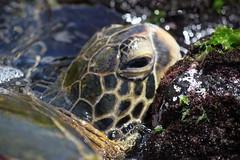 IMG_5298 (Aaron T. Goodman) Tags: ocean trip family sea vacation baby beach swim hawaii shark fishing babies oahu turtle aaron ken hilton tropical reef seaturtle marlin goodman yetta aarongoodman