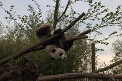Pairi Daiza (soetendaal) Tags: china giant zoo panda belgium